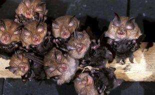 """De 5,5 à 6,7 millions de chauves-souris ont succombé aux Etats-Unis et au Canada au syndrome dit """"du nez blanc"""", selon une dernière estimation du service fédéral de la pêche et de la vie sauvage (FWS) publiée mardi."""