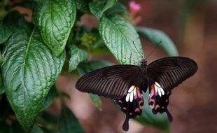 """Les papillons britanniques ont connu une année """"horrible"""" en 2012 et certaines espèces ont enregistré un très fort déclin à cause des pluies record, selon une étude scientifique parue mardi."""