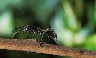 Une fourmiParaponera.