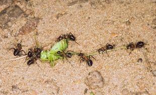 Des fourmis en train de transporter un insecte.