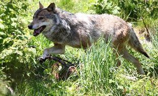 Un loup gris en France en 2015.