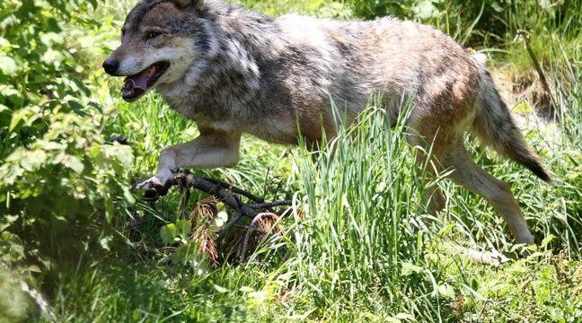 Un loup aperçu aux portes de Lyon, une première depuis plus de 100 ans
