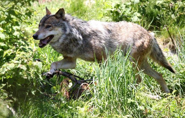 Pyrénées: Les crottes sont formelles, un nouveau loup a bien rôdé dans les montagnes de l'Ariège