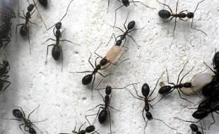 Etude de fourmis.