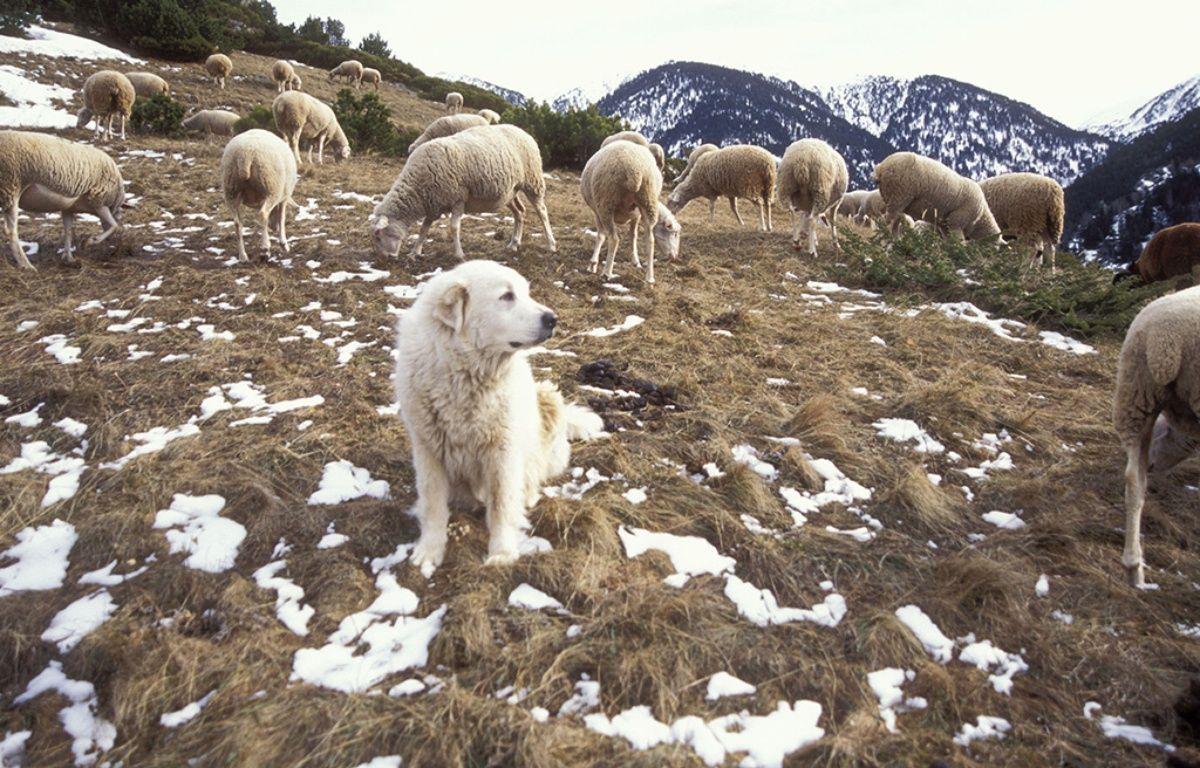 Un troupeau dans une estive des Pyrénées. – ARDEA Mary Evans Sipa
