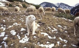 Un troupeau dans une estive des Pyrénées.