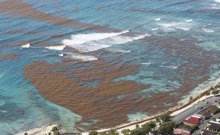 """Les algues brunes """"sargasses"""" de retour sur les côtes guadeloupéennes en 2018."""