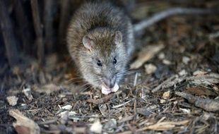 Un petit rat parisien