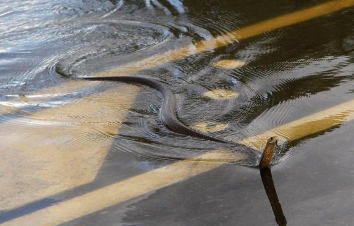 Un serpent nage dans les rues de Rockhampton, en Australie, le 3 janvier 2011. – REUTERS/Daniel Munoz