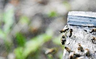 Un frelon asiatique en pleine attaque d'abeilles au rûcher-école de Toulouse.
