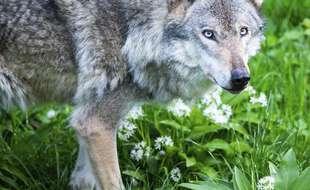 Découverte en France d'un loup d'une lignée d'Europe centrale (illustration)