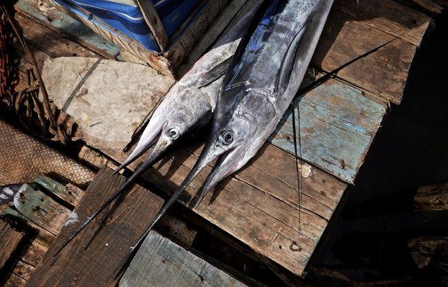 Australie: Un marlin bondit sur un bateau pneumatique et blesse deux hommes