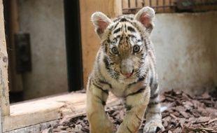 Kibo, un bébé tigre sauvé d'un trafic, a été recueilli par l'association Tonga au zoo de Saint-Martin-La-Plaine dans la Loire.