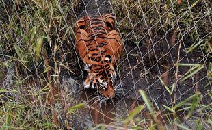 Un tigre au zoo de Londres, le 20 mars 2013.