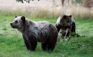 Des oursons dans le parc de Yellowstone aux Etats-Unis.
