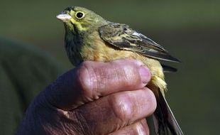 L'ortolan est un petit oiseau migrateur dont la chasse est illégale.