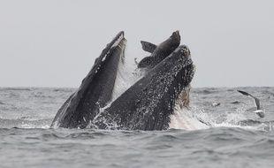 Le photographe animalier Chase Dekker a immortalisé une scène inédite: un lion de mer tombant dans la gueule d'une baleine à bosse.