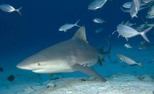 Illustration du requin bouledogue (bull shark).