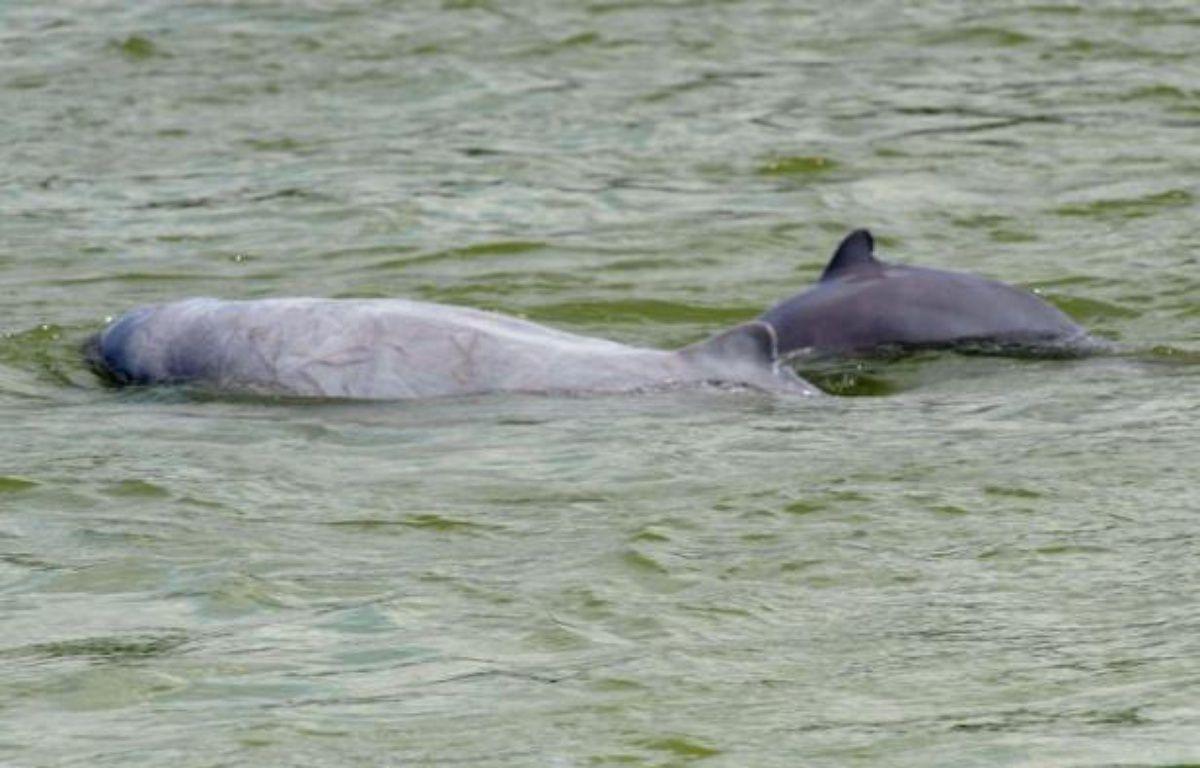 A l'apparition de deux dauphins de l'Irrawaddy en train de jouer, des touristes embarqués sur le Mékong ne peuvent cacher leur joie. Mais ils ne seront pas tous si chanceux à l'avenir: des filets de pêche meurtriers menacent la survie même de l'espèce. – Tang Chhin Sothy afp.com