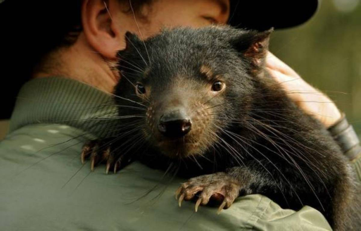 Plusieurs diables de Tasmanie, petit marsupial emblématique de cette île du sud-est de l'Australie, vont être transférés sur un îlot afin de tenter de sauver l'espèce, menacée par un cancer de la face qui a décimé plus de 90% de la population. – Greg Wood afp.com