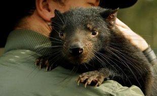 Plusieurs diables de Tasmanie, petit marsupial emblématique de cette île du sud-est de l'Australie, vont être transférés sur un îlot afin de tenter de sauver l'espèce, menacée par un cancer de la face qui a décimé plus de 90% de la population.