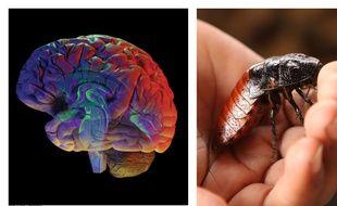 Montage 20 Minutes/ SUPERSTOCK SIPA d'un cerveau et d'une blatte