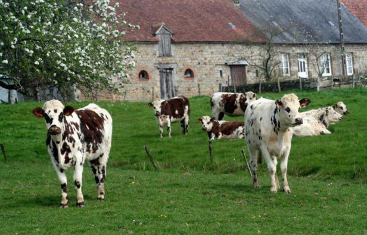 Vaches laitières dans un pâturage normand. – GILE MICHEL/SIPA