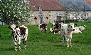 Vaches laitières dans un pâturage normand.