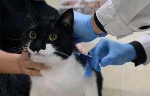 Fin mars 2021, la Russie a annoncé l'homologation du premier vaccin contre le coronavirus à destination des animaux. Ce Carnivac-Cov serait efficace à 100 % et devait être produit à partir du mois d'avril. Eh bien, ce 28 mai à Moscou, un chat a reçu la première dose de Carnivac-Cov au monde. L'animal se porte bien.