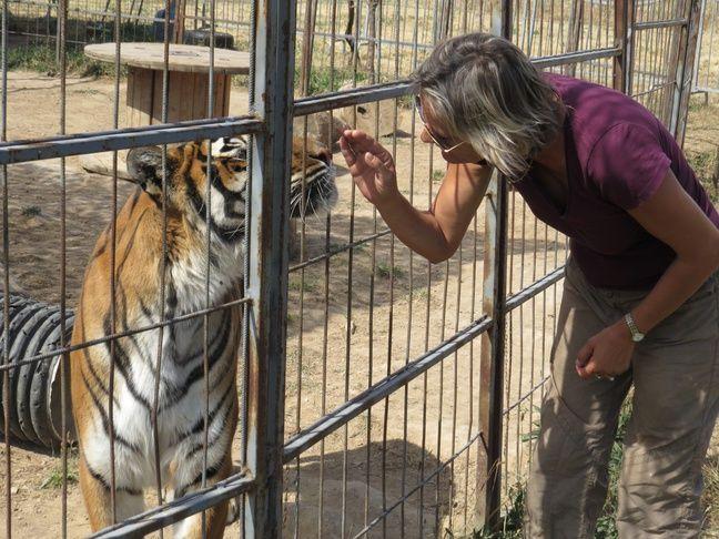 La tigresse Tania est la star de l'élevage.