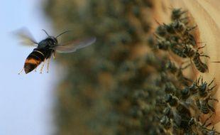 Un frelon asiatique devant une ruche.