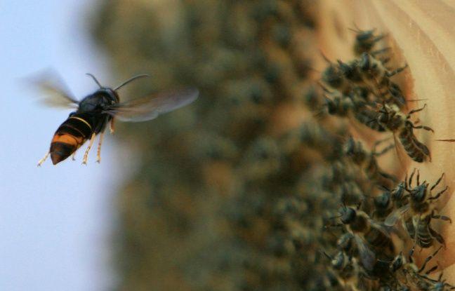 Morbihan : En pétard, un apiculteur lâche 1.500 frelons asiatiques devant une mairie