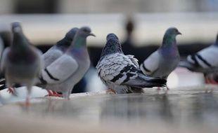 Des pigeons sur la place Catalua à Barcelone, en Espagne.
