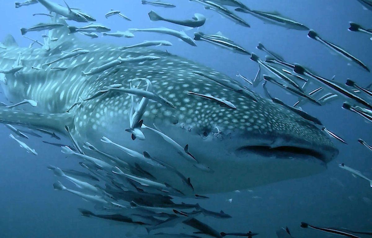 Un pêcheur «surfe» sur le dos d'un requin-baleine – CATERS NEW AGENCY/SIPA