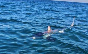 Un requin renard observé à Port-Camargue.