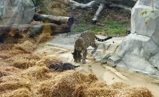 Première portée de jaguar au zoo de Vincennes, le 24 août 2018