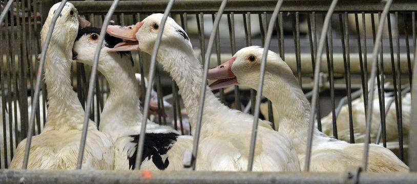 Un élevage de 2.700 canards a été abattu vendredi dans les Landes.