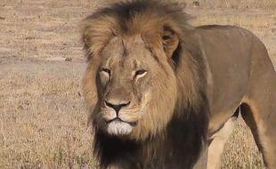Le lion Cecil, au Zimbabwe.