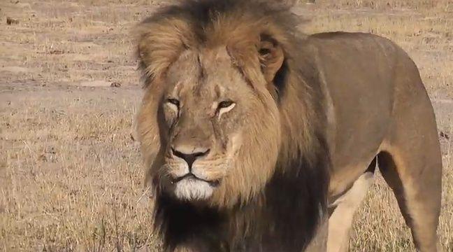un dentiste am ricain accus d avoir tu le lion le plus. Black Bedroom Furniture Sets. Home Design Ideas