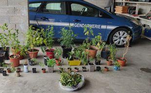 Les plants de cannabis saisis par la gendarmerie du Gard