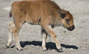 Un bébé bison (illustration).