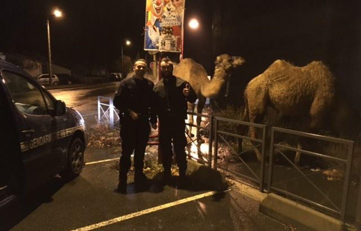 Les trois chameaux s'étaient évadés d'un cirque. – Gendarmerie de la Haute-Garonne