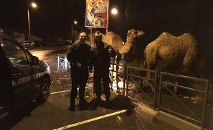 Les trois chameaux s'étaient évadés d'un cirque.