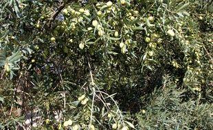 (Photo d'illustration) Un olivier