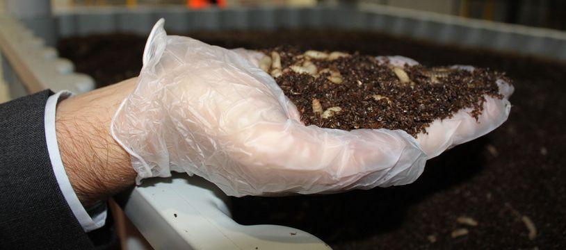 Des larves de mouches soldat noires. Voilà ce qu'on élève chez Innovafeed à Nesle dans la Somme.