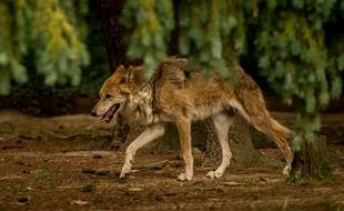 Un loup au zoo de Pleugueneuc en 2015 (image d'illustration).