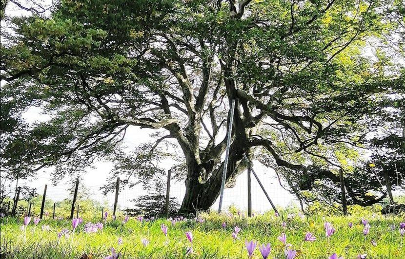Pour le grand public, l'arbre de l'année, c'est lui... et il se trouve dans le Tarn