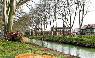 Des platanes abattus le long du Canal du Midi. Illustration
