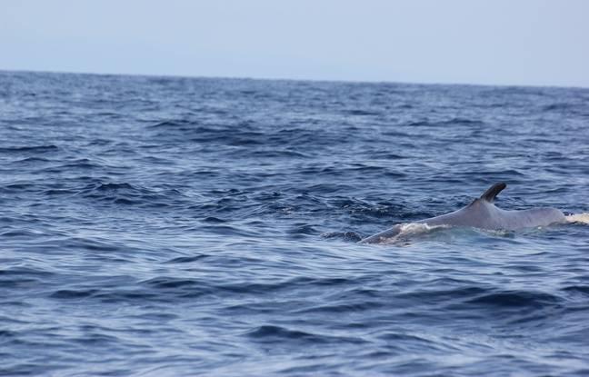 C'est une collision avec un navire qui est susceptible d'être à l'origine de la blessure de la baleine.
