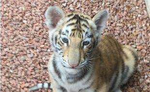 Le petit tigre a été attrapé en plein quartier résidentiel près de Roanne.